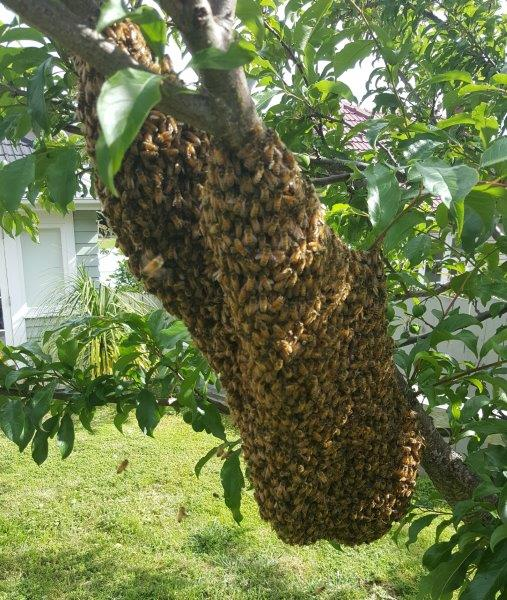 Large bee swarm