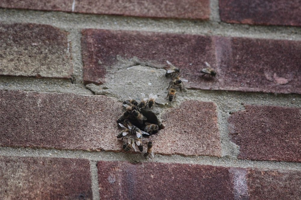 Bees going in to wall.JPG