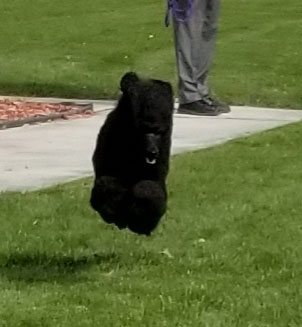 Betty-Flying-Poodle.jpg