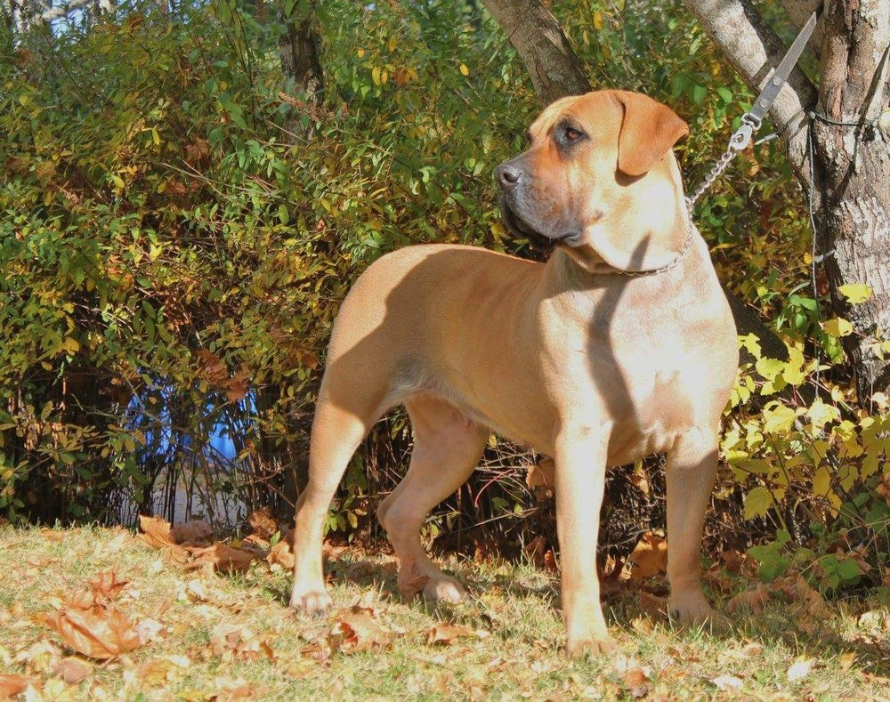 Dogo Canario 2.jpg
