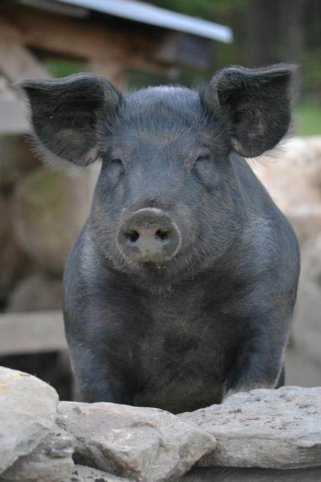 heritage-pork-large-black-pig.jpg