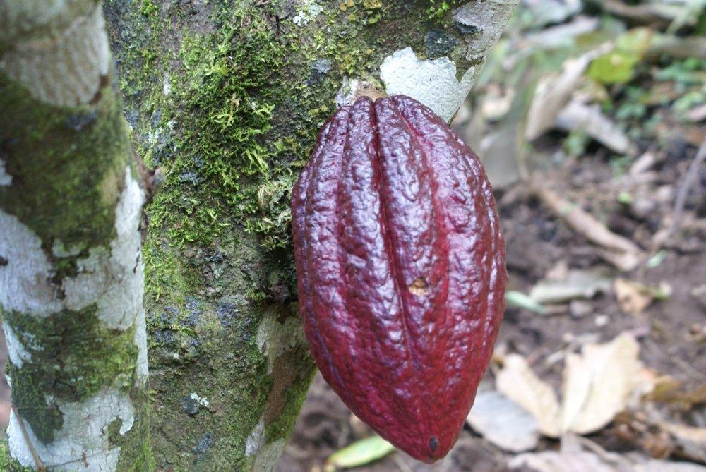 cacao pod 1.jpg