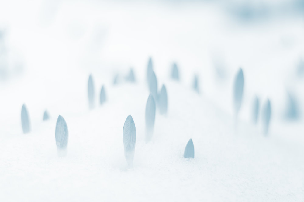 Crocuses sprouting up through the snow. Spring is coming. Photograph by Johannes Plenio.