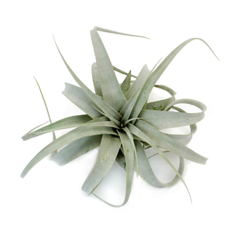"Tillandias are also called ""Air Plants"""