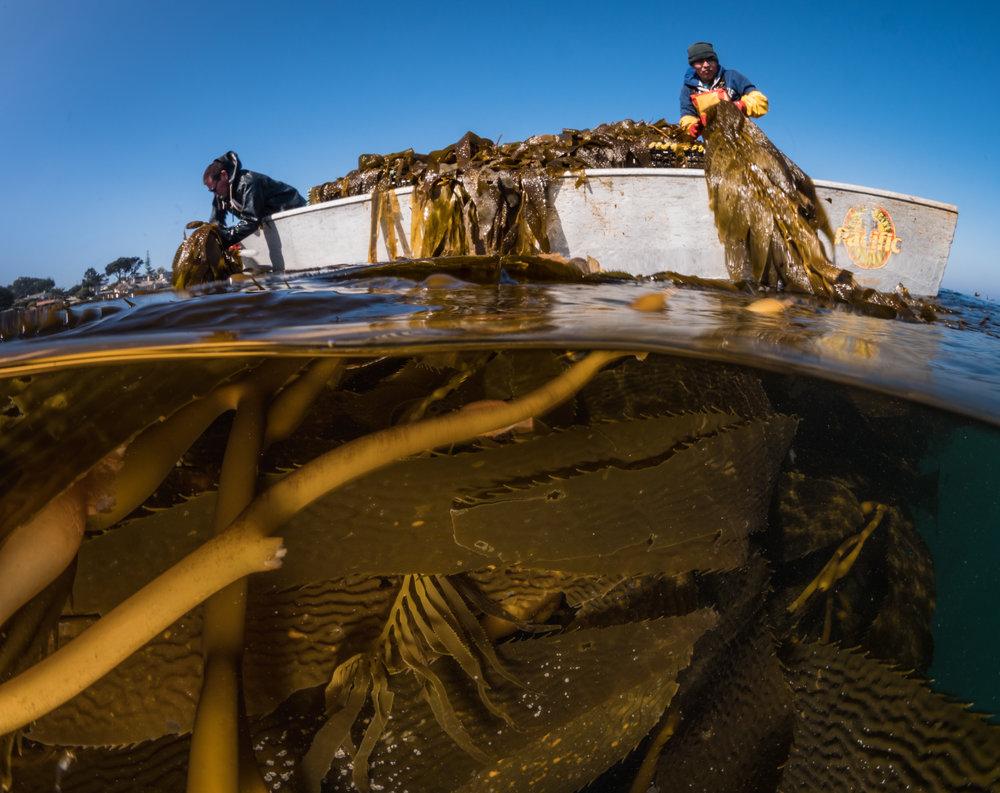 Kelp Harvest-1-4.jpg