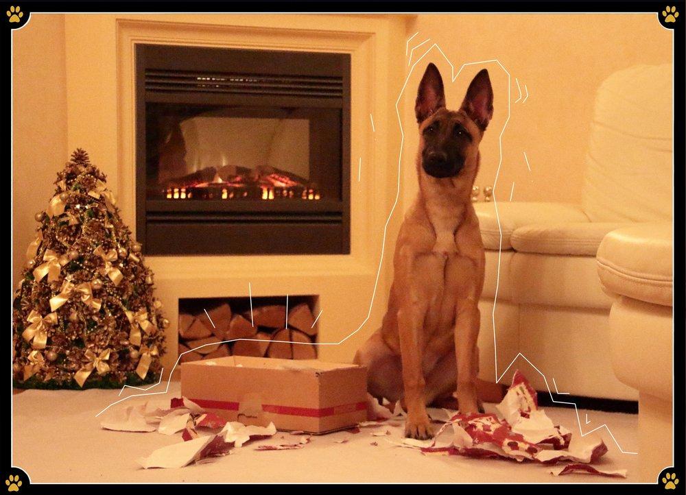"""14. Dezember - Wieso sollte Weihnachten nur für uns Menschen etwas Besonderes sein? 🎄Wir können unserem geliebten Vierbeiner genauso einfach ein tolles Geschenk machen – das haben wir ja gestern bereits gelernt. Doch nicht nur das Geschenk, sondern auch das Auspacken, oder eher das """"Zerreissen"""" des Geschenkpapiers ist für einen Hund ein echtes Highlight. 💛Nun stellt sich aber die Frage, wie genau man das anstellt, denn auch hier kann man vieles falsch machen.Das Geschenk sollte zunächst auf keinen Fall in Folie verpackt und auch Klebeband sollte besser nicht verwendet werden. ❌Scharfkantiges Geschenkband kann man durch eine Paketschnur ersetzen, damit es beim Zerreißen zu keinen Verletzungen im Mundbereich des Hundes kommt.Bei Hunden, die dem Auspacken von Geschenken eher zögerlich gegenüberstehen hilft es im Inneren des Geschenkes Leckereien zu verstecken.😋Ganz besonders wichtig ist aber, dass der Hund beim Auspacken niemals unbeaufsichtigt sein sollte!🐾"""