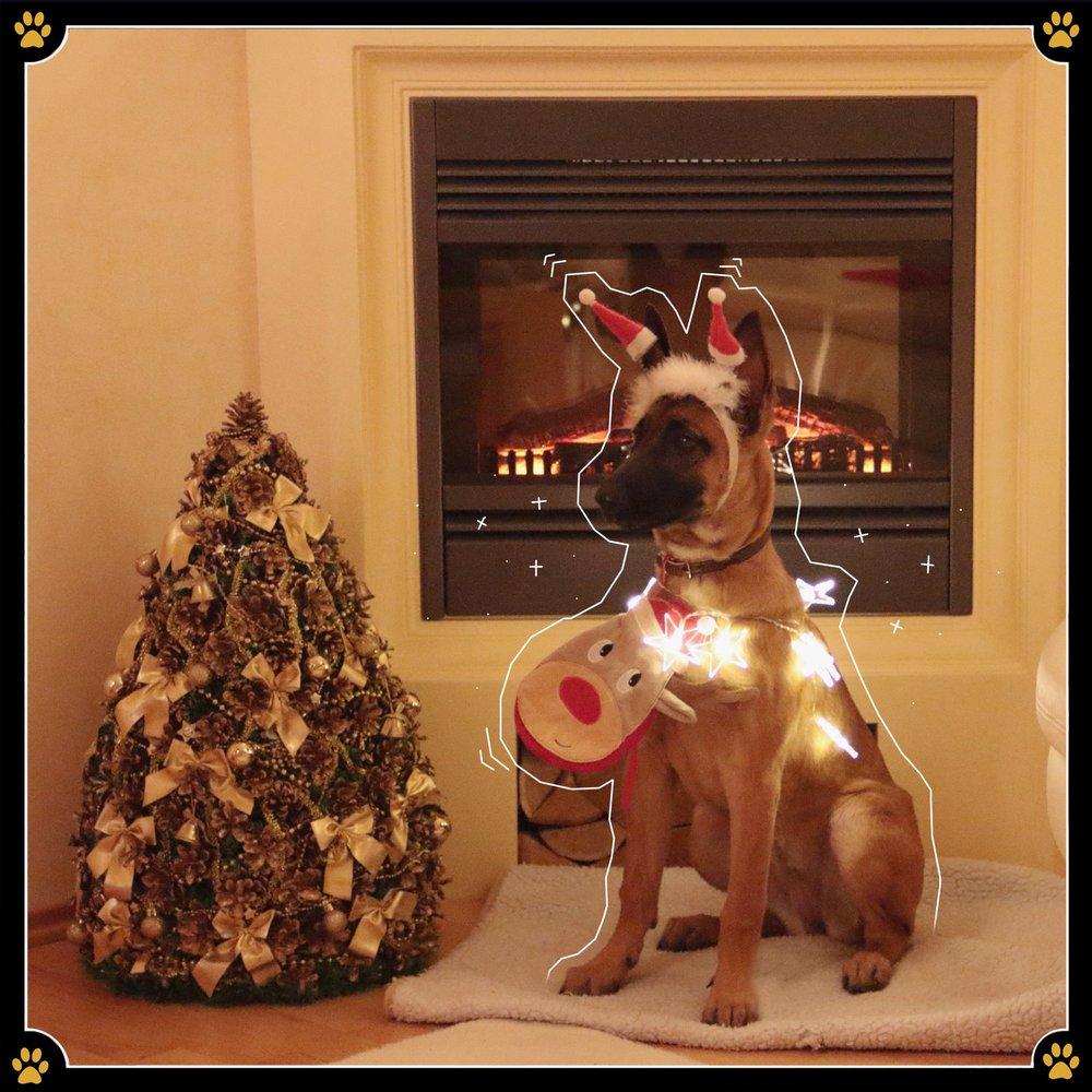 18. Dezember - Weihnachtszeit ist Dekozeit! Ein bisschen Lametta hier, ein paar Kerzen da.Aber halt: Wer Vierbeiner zuhause hat sollte aufpassen, wohin welche Deko gestellt wird.Hier ein paar Tipps für die tiergerechte Weihnachts-Wohnungsdekoration.1. Kerzen: Dass man Kerzen nicht unbeobachtet herumstehen lassen soll ist jedem bekannt. Das gilt aber auch, wenn man Vierbeiner zuhause hat. Denn egal ob es nun das spannende Flackern oder die wedelnde Rute des Hundes ist – für das Tier erreichbare Kerzen lösen Katastrophen schneller aus als man es erwartet. 🕯2. Lametta: Manchmal kann man gar nicht schnell genug gucken und plötzlich rennt der Hund freudig mit den lustig glitzernden Plastik- oder Metallstreifen durch die Wohnung.Bei dem Verschlucken von Lametta besteht jedoch Lebensgefahr, weshalb es, wenn überhaupt, für Tiere unerreichbar aufgehangen werden sollte! ✨3. Christbaumkugeln: Eigentlich erklärt sich dieser Punkt von selbst, sollte aber dennoch nicht vergessen werden. Denn egal ob der Hund sie frisst, oder ob sie herunterfällt und das Tier hineinläuft – es führt zu starken, wenn nicht sogar lebensgefährlichen Verletzungen. 🎄4. Weihnachtssterne und Mistelzweige: Besonders Pflanzen sind in der dunklen Jahreszeit schön anzusehen. Jedoch sollten sie unbedingt außerhalb der Reichweite der Vierbeiner aufgestellt werden, da sie, wenn sie gefressen werden, zu Übelkeit, Erbrechen, Bauchschmerzen und Durchfall führen können. 🌿5. Leckereien und Gewürze: Dass dunkle Schokolade giftig für Vierbeiner ist wisst ihr bereits. Jedoch sollten auch Keks- oder Obstteller nicht für Tiere erreichbar sein. Besonders weihnachtliche Gebäcke enthalten Zimt oder Rosinen – beides sind Zutaten, die starke Vergiftungserscheinungen beim Hund hervorrufen können. Aber auch Weintrauben führen zu den gleichen Symptomen. 🍪6. Duftöle und Schneespray: Auch, wenn sie wundervoll riechen und das Weihnachts-Feeling verstärken, sollten Duftöle auf keinen Fall in einem Tierhaushalt verwendet werden. Die ä