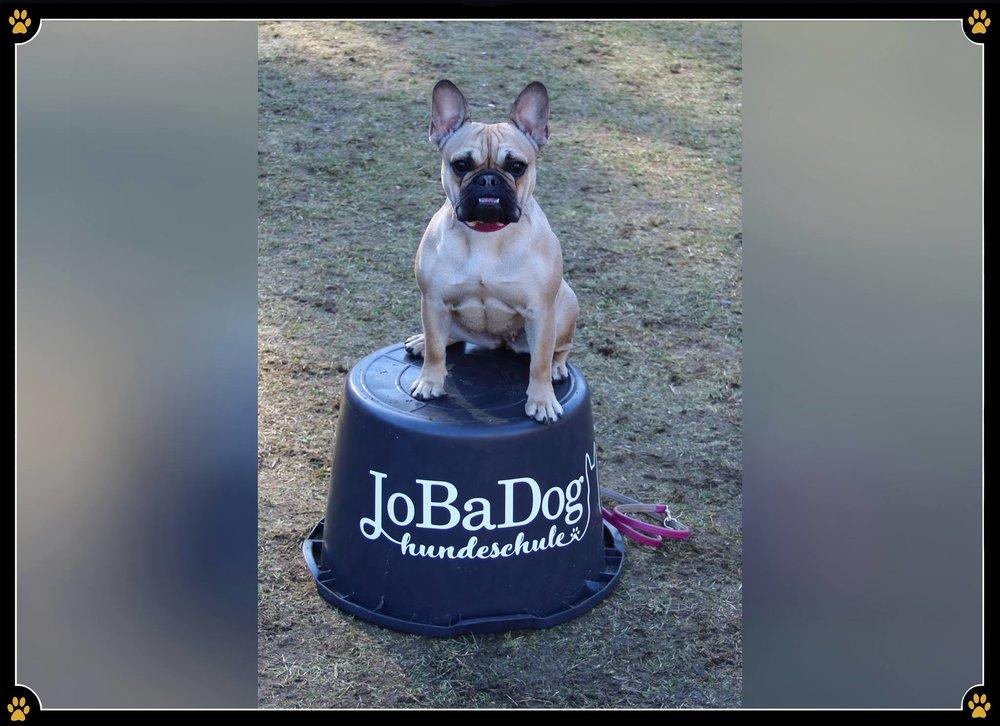 Die Französische Bulldogge… - …oder auch wie Kinder gern sagen, der Mops mit Stehohren, ist ein lebhafter, aufgeweckter und unerschrockener Zeitgenosse.😎Leider besteht aber speziell bei dieser Rasse immer wieder die Gefahr, dass ein süßer Bully-Blick ausreicht, um alle guten Erziehungsvorsätze im Handumdrehen zu vergessen. 😅Im eigenen Interesse sollte man dennoch standhaft bleiben und dem Charme des Hundes nicht allzu oft unterliegen, denn ein nicht erzogener Hund ist in vielen Situationen schlichtweg überfordert. 😣Auf uns Menschen wirkt er dann oftmals aufgekratzt und überdreht, dies kann durch Frust aber auch in Aggression umschlagen und das möchte nun wirklich niemand.🙅🏻♀️🐾