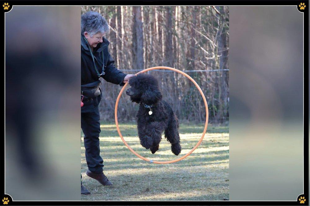 Der Oma-Hund oder der Etepetete Hund? 🤔 - Die intelligenteste Hunderasse der Welt kämpft immer noch gegen viele Vorurteile.Doch der Pudel ist ein wahrer Allrounder und für viele Aktivitäten zu begeistern. 🤩Wie wäre es mit Dogdancing? Schnappen Sie sich einen Hula Hoop Reifen und versuchen Sie ein paar Elemente aus dem Trickdogging. Um den Reifen, durch den Reifen, der Fantasie sind hierbei keine Grenzen gesetzt! 😜Aber auch Longieren kann Spaß machen, denn der Pudel liebt es zu rennen und zu spielen, mag aber auch das Mitdenken und die gemeinsame Arbeit mit seinem Besitzer. 💛Auch für ruhige Spiele ist der Pudel zu haben. Dafür ist ein Schnüffel-Parcours ideal. ☺️Entweder man versteckt inmitten umgefallener Hütchen und Stangen das Lieblingsspielzeug oder Futter und lässt den Pudel dieses dann erschnüffeln.Probieren Sie einige Beschäftigungsideen aus und finden Sie heraus, wofür das Herz Ihres Hundes schlägt.🐩🥰
