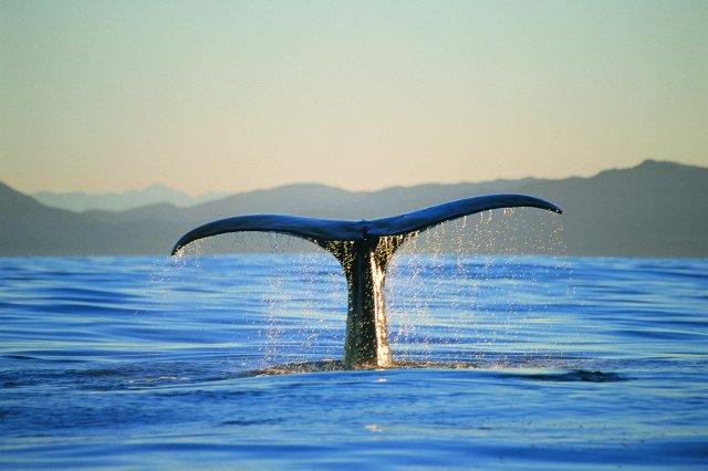 whale watching kaikoura_lg.jpg