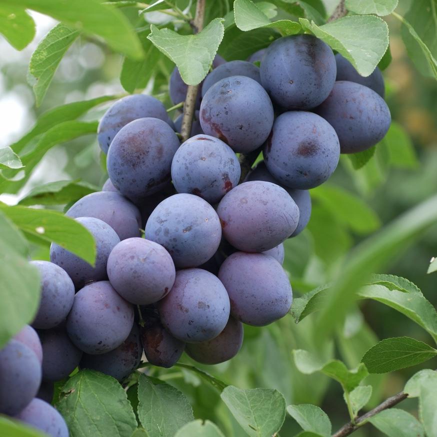 Prunus_domestica_The_Czar_HRM_0579.jpg