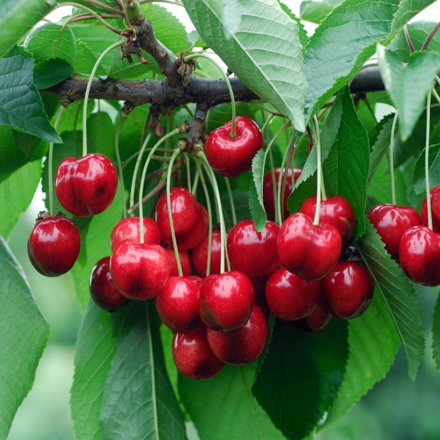 Prunus_avium_Hudson_HRM_8420.jpg