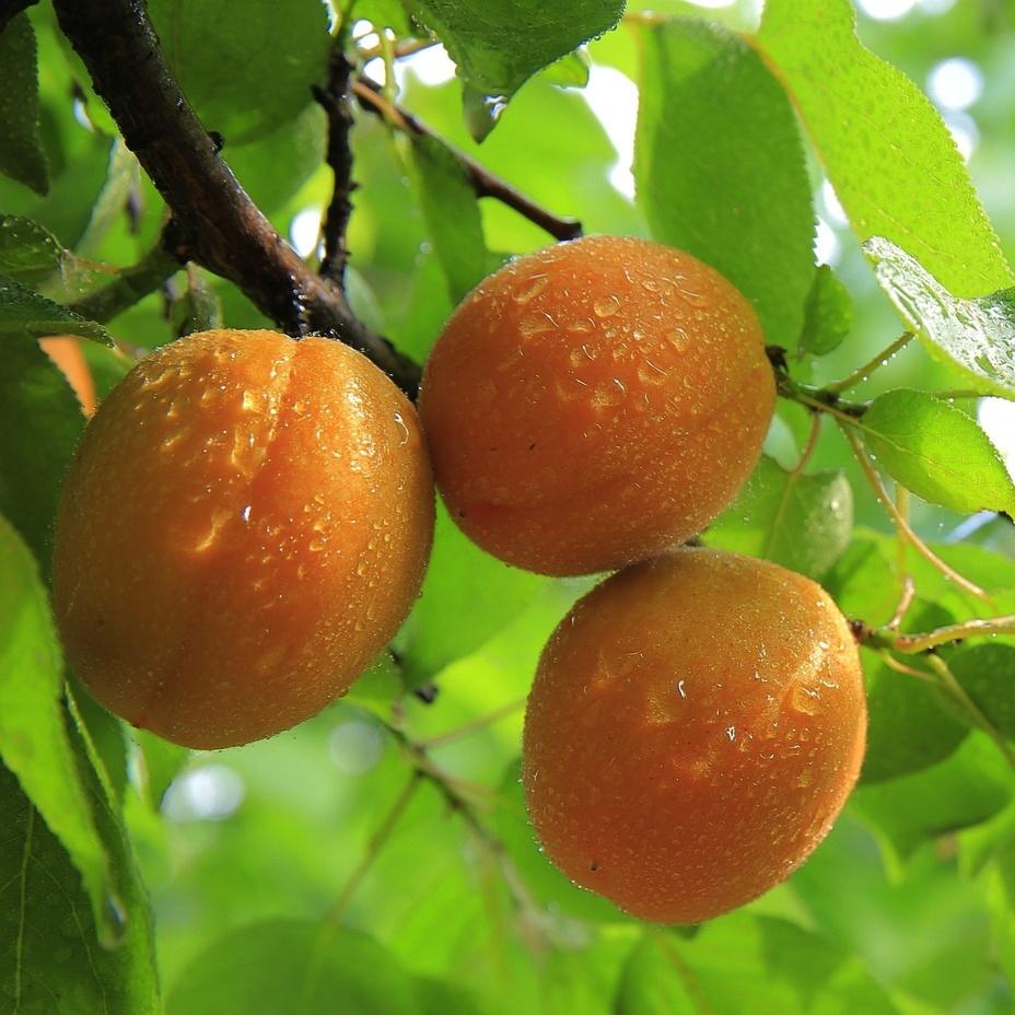 peaches-824627_1920.jpg