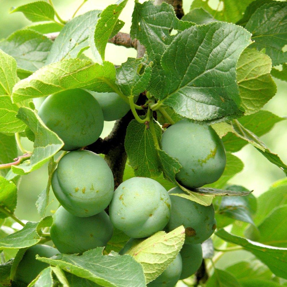 plums-946154_1920.jpg