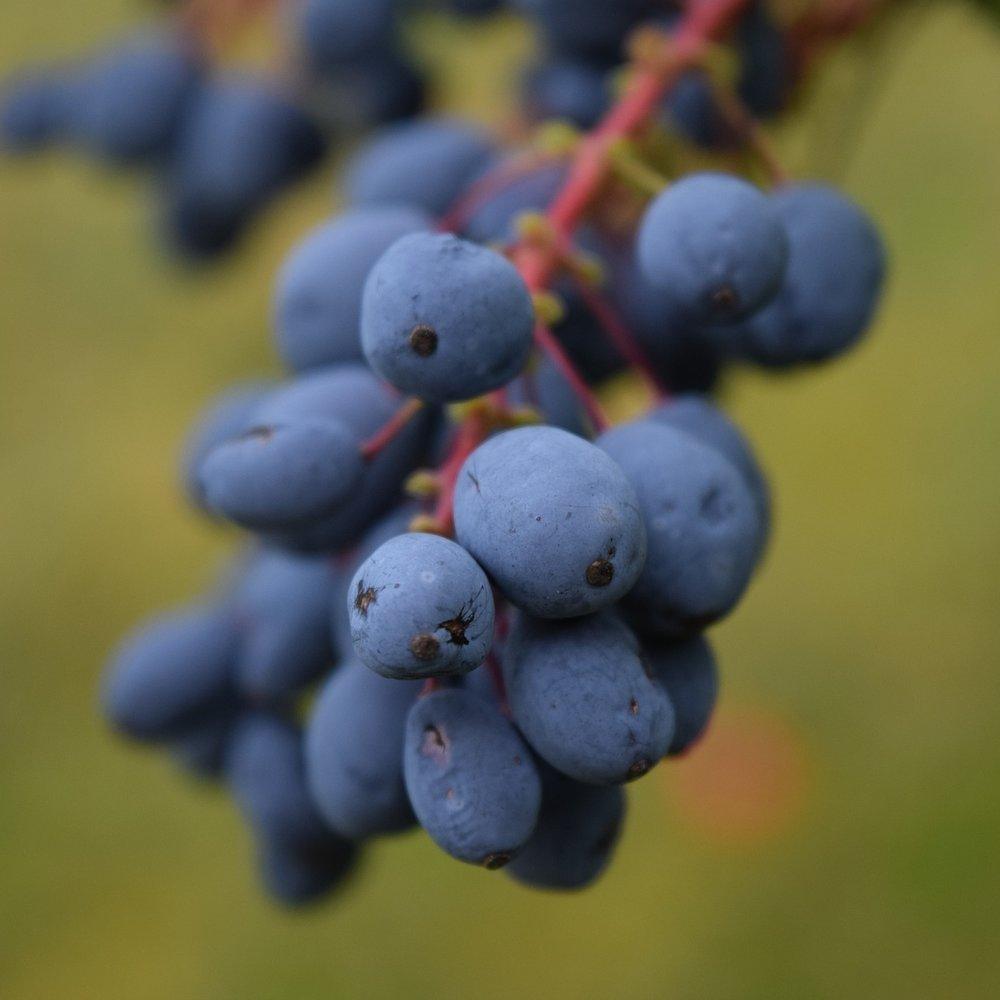 barberry-1541364_1920.jpg