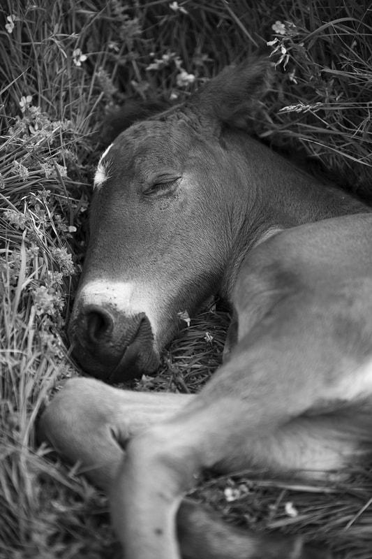 sleepy-foal-vercors.jpg