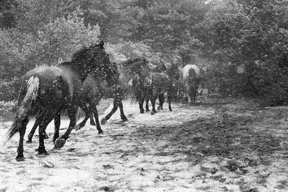 winter-storm-horses.jpg