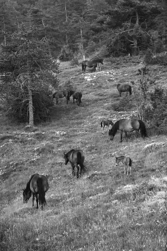 horses-vercors-barraquand.jpg