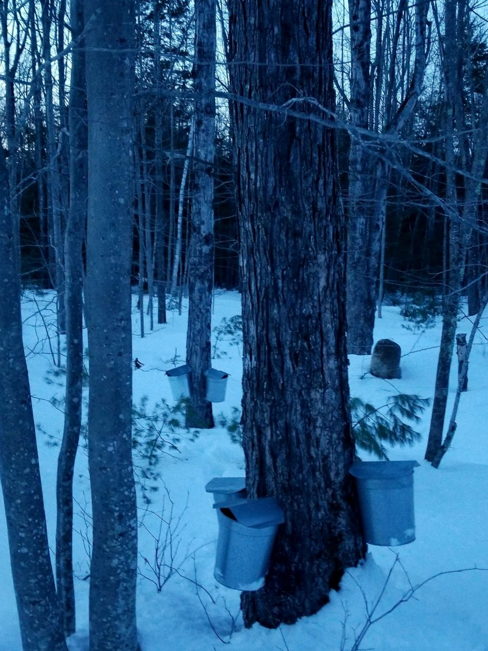 The Bean's have tapped the trees for 2019 and the flow of sap is happening!! Yum can't wait for this years Bean's Maple Syrup!!!!