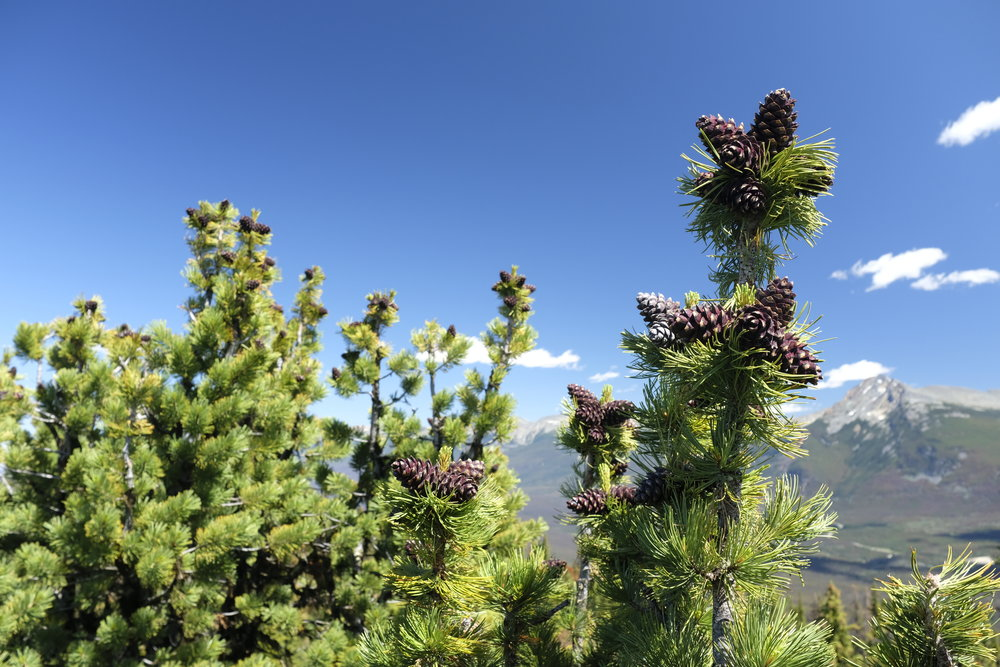 Purple whitebark pine cones against a clear blue sky in the mountains.