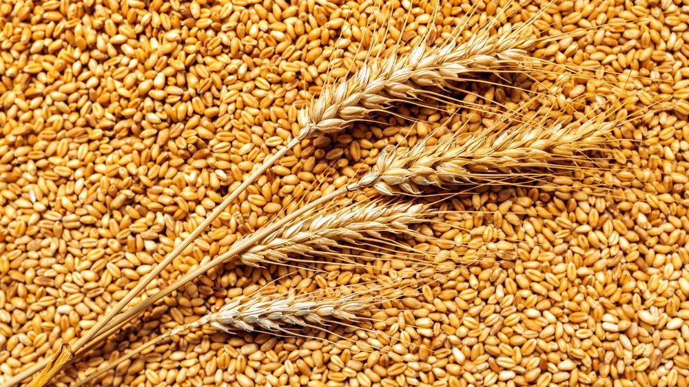 wheat-ears-and-grains-after-harvest-PD8QS9C (1) - Edited.jpg