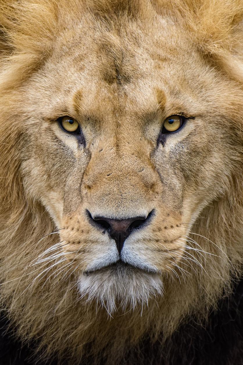 lion-898748838.jpg