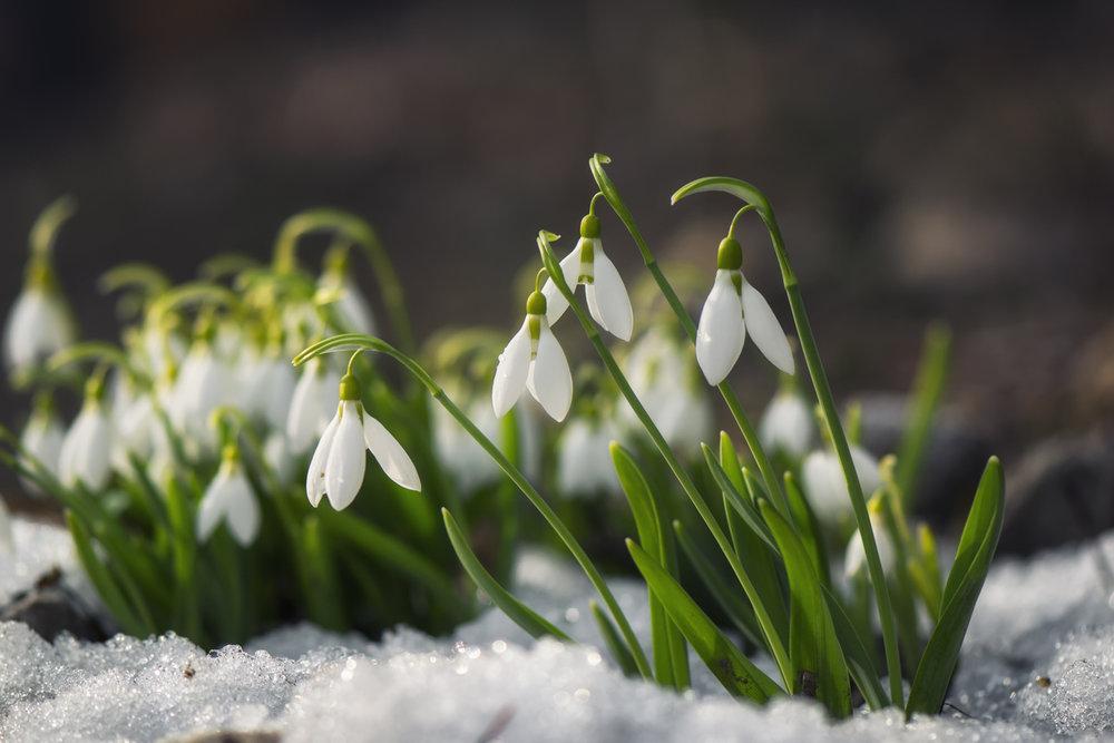snowdrops-510479542.jpg