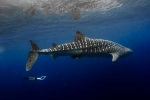 Stumpy the whale shark