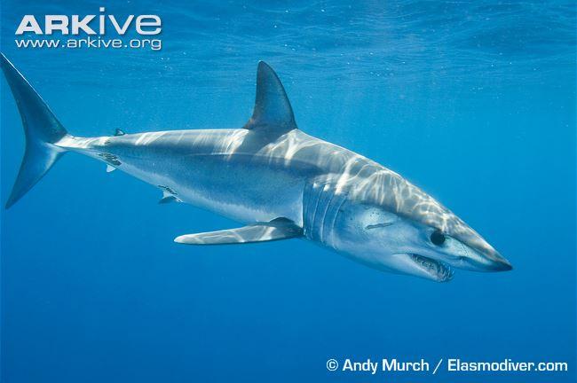 are shortfin mako sharks diet