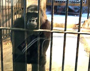 Captive gorilla in Pata Zoo