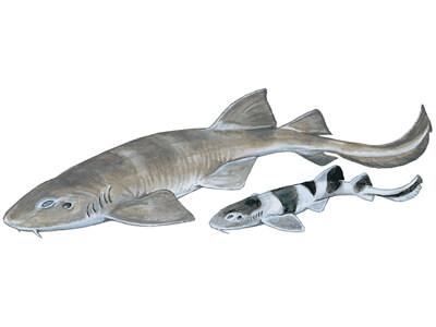 Bluegrey Carpet Shark