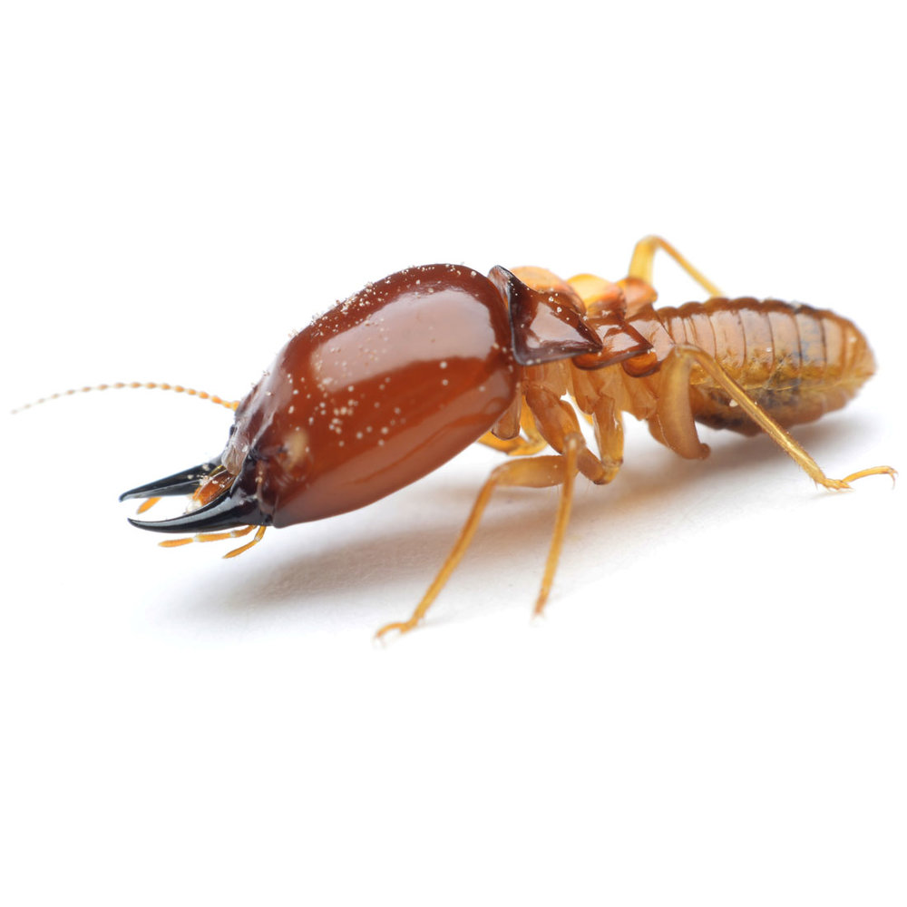 termite-infestation-1100.jpg
