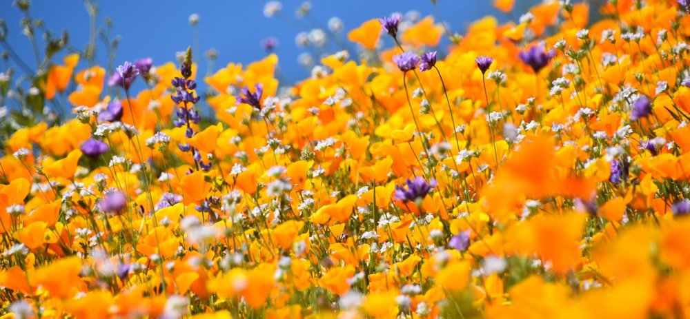 Photo:       Desert Wildflower Super Bloom    by    Rob Bertholf   ,    CC-BY 2.0    via    Flickr   .