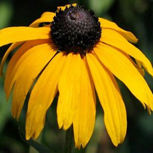 Showy Black-Eyed Susan