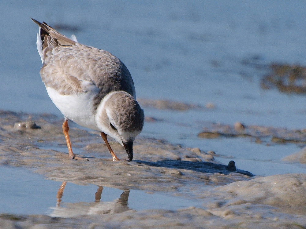 The Piping Plover is on the list of Illinois Endagered and Threatened Animals and Plants. Photo courtesy of Shanthanu Bhadwaj/flickr.
