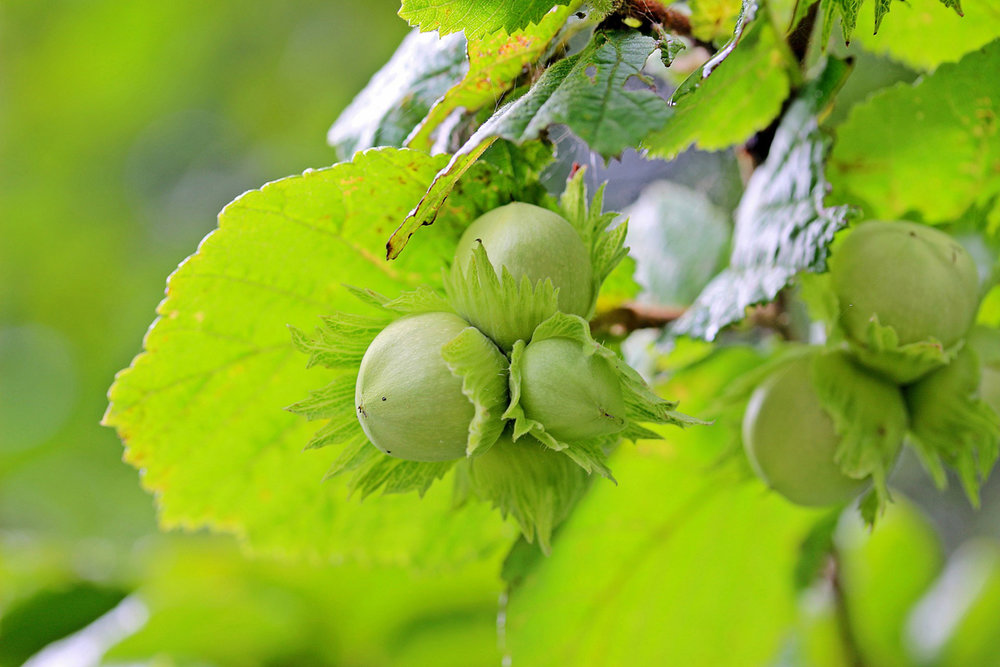 American Hazelnut, also known as American Filbert