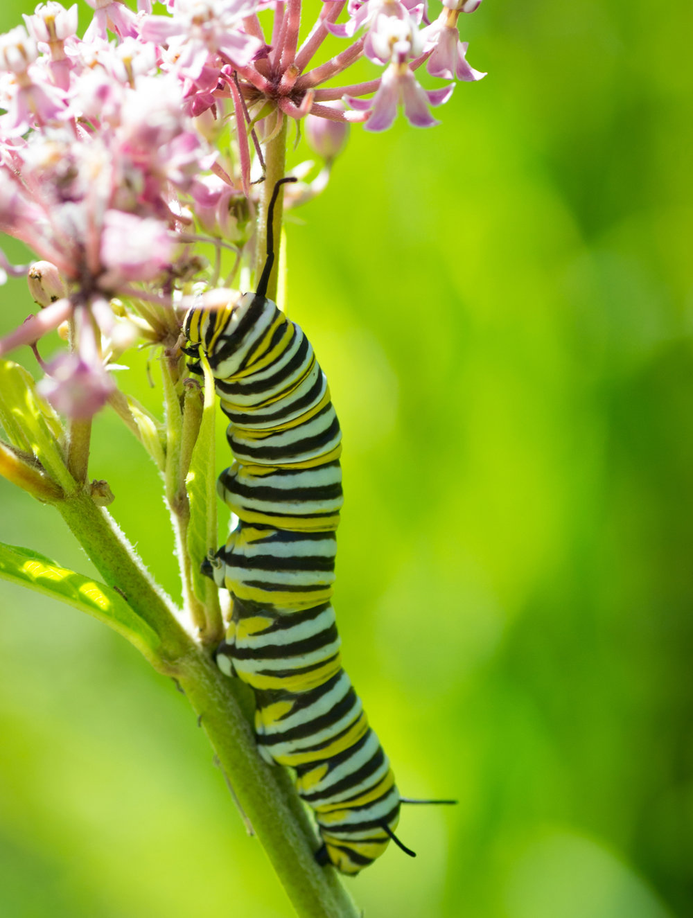 Monarch caterpillars eat only milkweed. Photo by Andrew C/Creative Commons