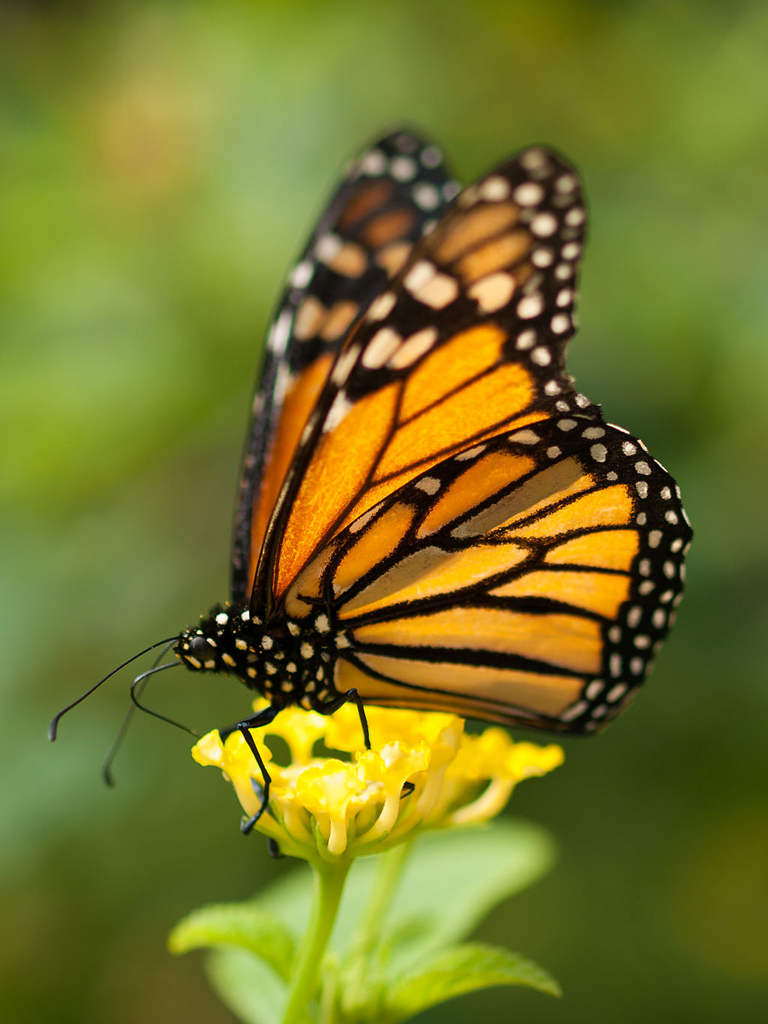 Monarch by William Warby/Wikimedia Commons.