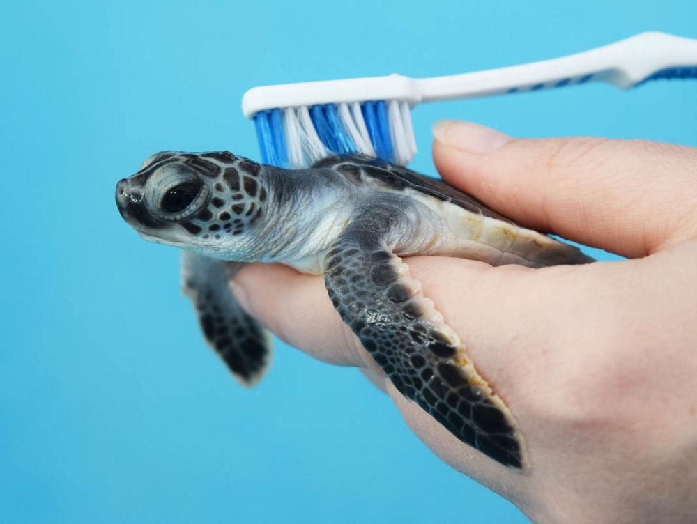 Caregivers at The Turtle Hospital use a toothbrush to scrub off the algae that sticks to hatchling turtle shells.