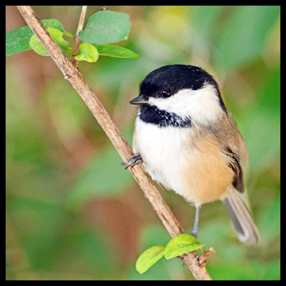 Chickadee parents feed their young 6,000 to 9,000 caterpillars, on average. Photo courtesy of Rodney Campbell/flickr.