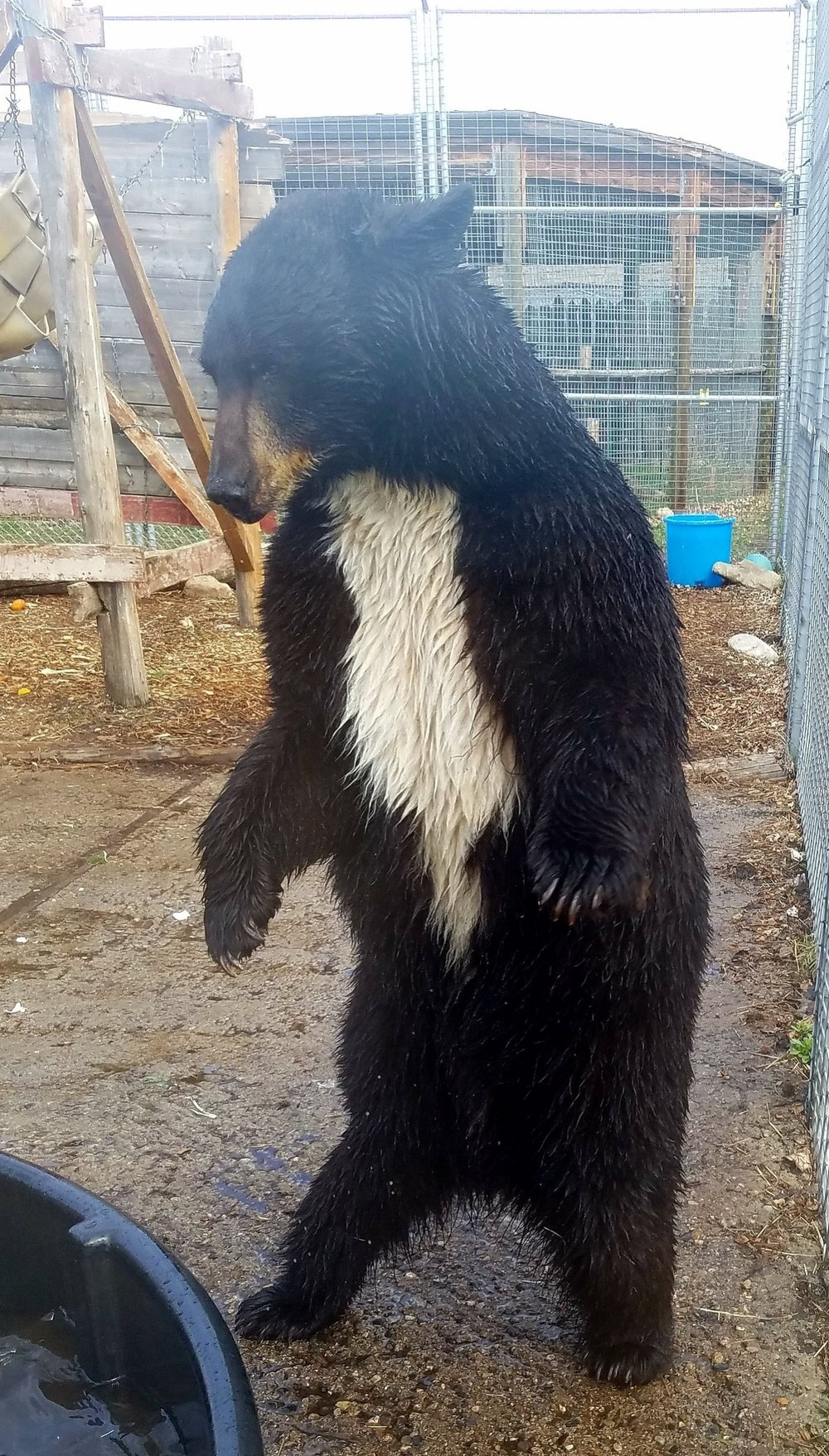 BlueBeary is one of our black bears. She loves water, and she just finished splashing around in her pool.