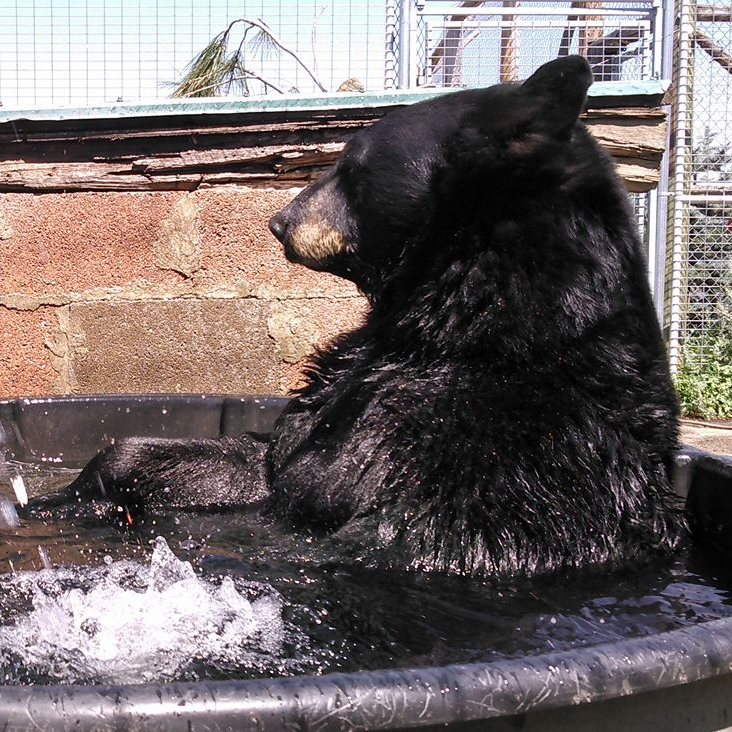BO , born in 2007, is our youngest bear. He was orphaned and found by loggers west of Missoula. After staying with the loggers for a while, he was transferred to a rehabilitation center in Helena and then to us. He has been sharing a habitat with Blueberry since he was a few months old.