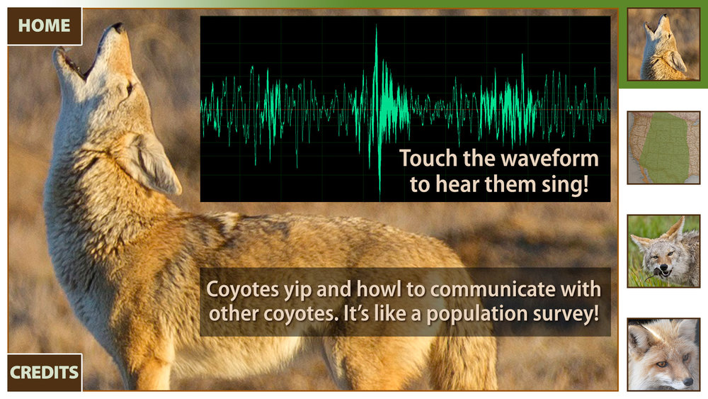 One of the screens for the interactive coyote display.