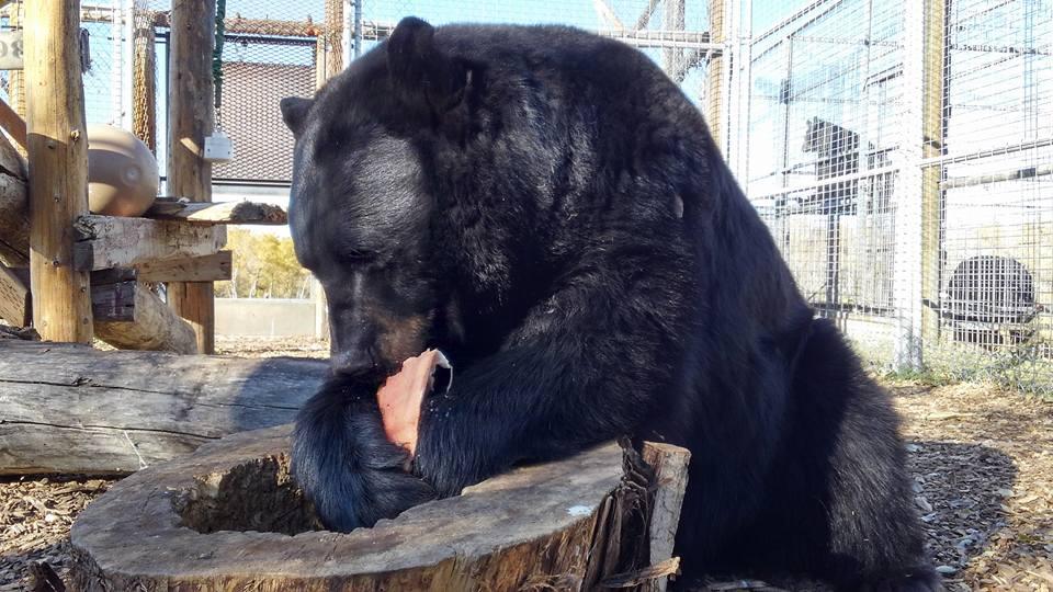 Black Bear - Bo 10.jpg