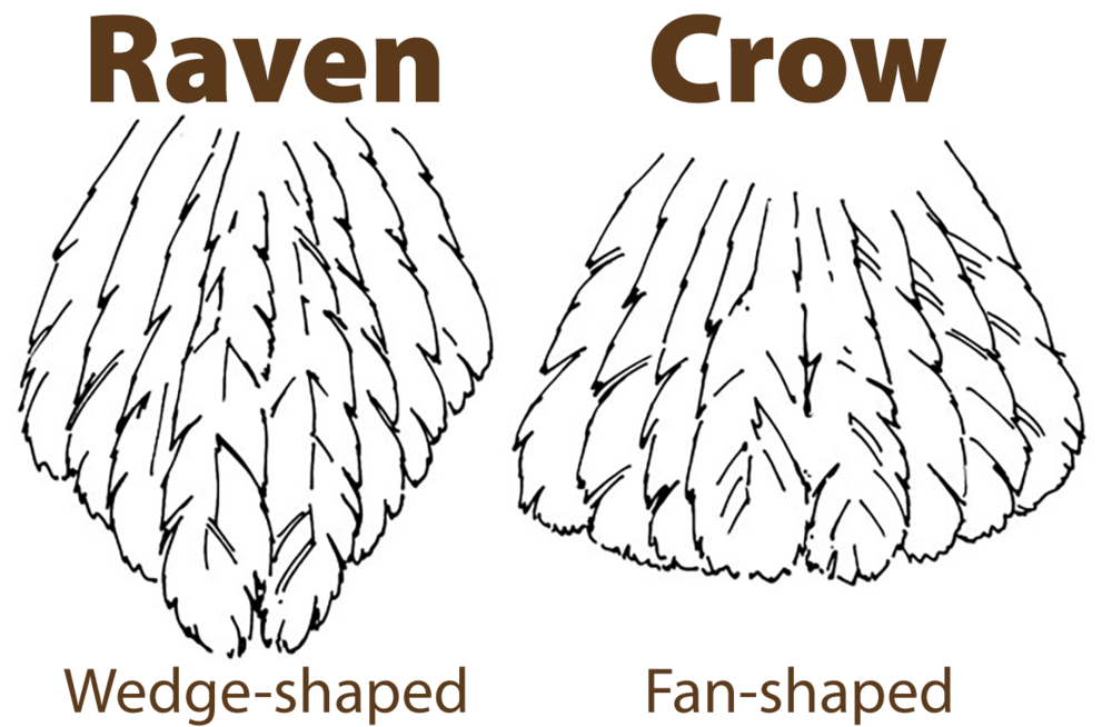 raven vs crow tail.png