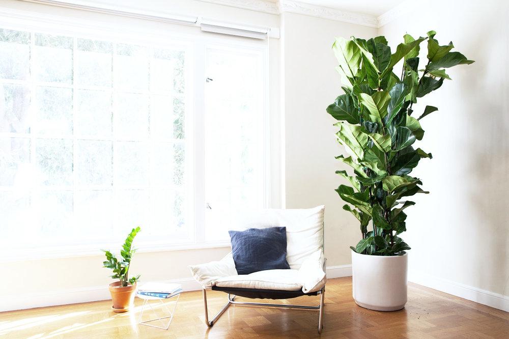 Fiddle Leaf Fig Column -