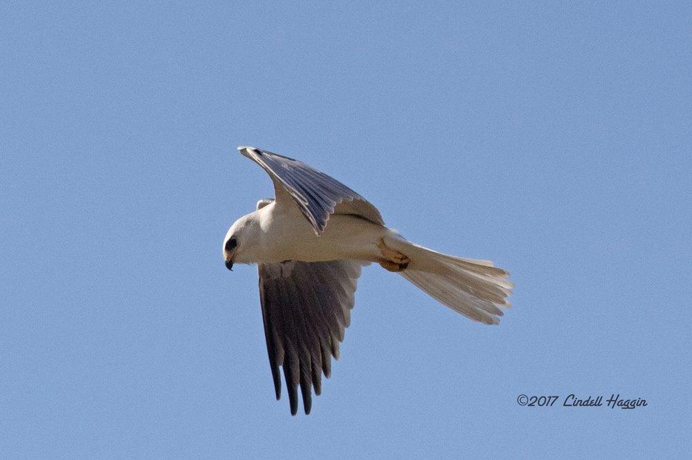 White-tailed Kite.jpg
