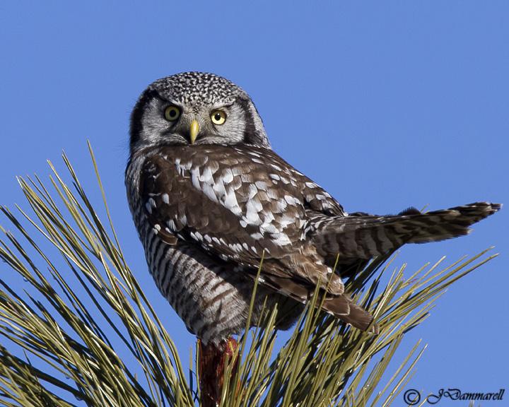 Northern Hawk Owl.jpg