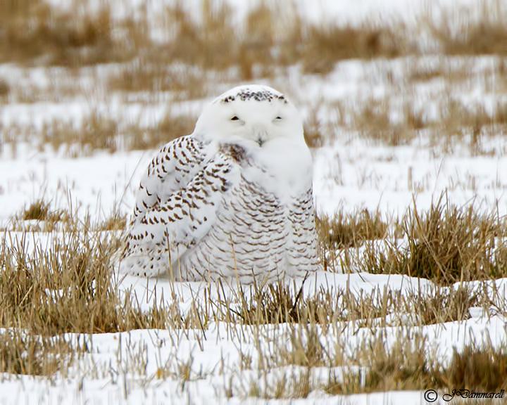 Snowy Owl Nyctea scandiaca.jpg