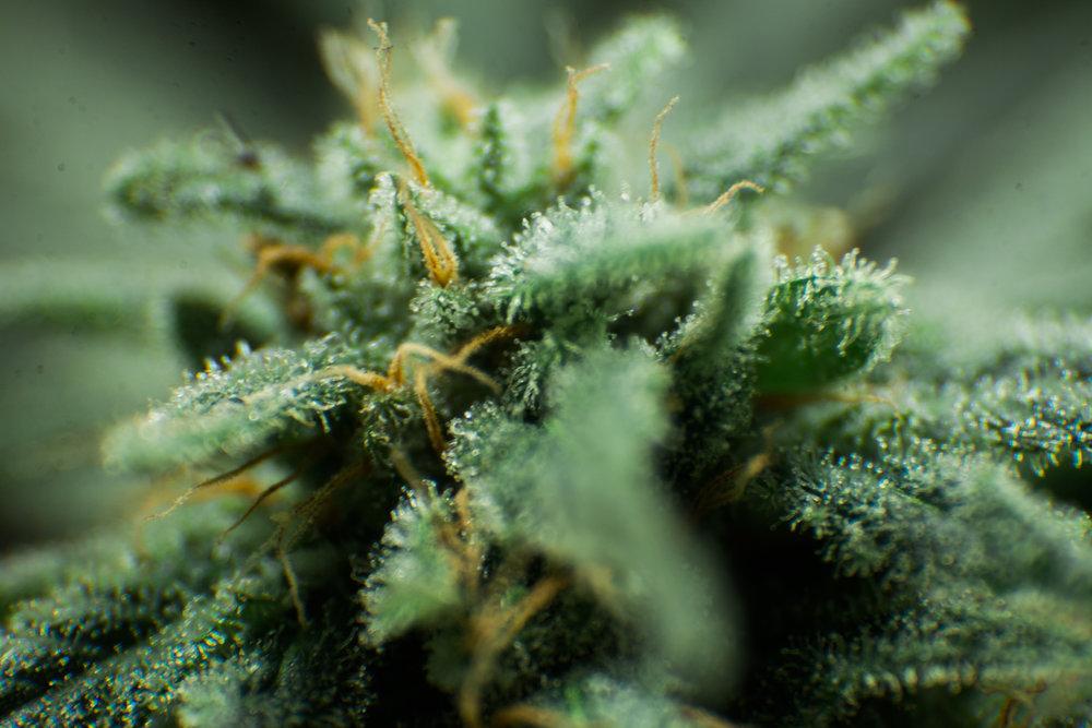 cannabis (4 of 44).jpg